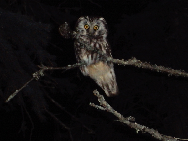 houston_alaska_baby_owl