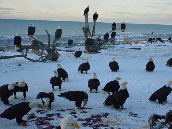 homer_alaska_eagles