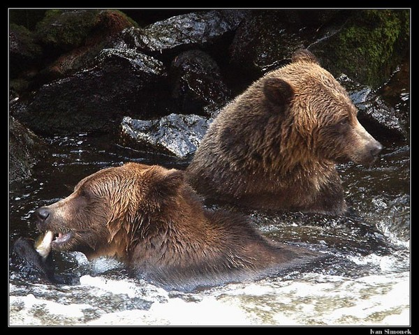 Anan Brown Bears Alaska Waters Tours Inc Wrangell Alaska