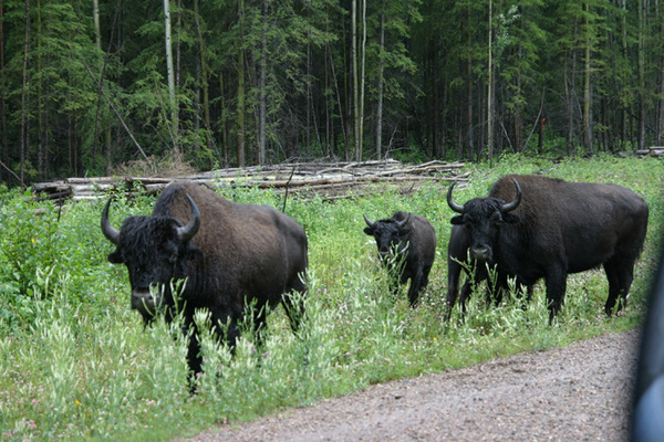 Liard Highway NWT Bison