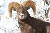 Waterton Big Horn Sheep Jeanne Aldrich