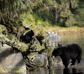 Alaska Waters AnAn Bear Wrangell
