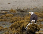 Alaska Waters Wrangell Alaska bald eagle