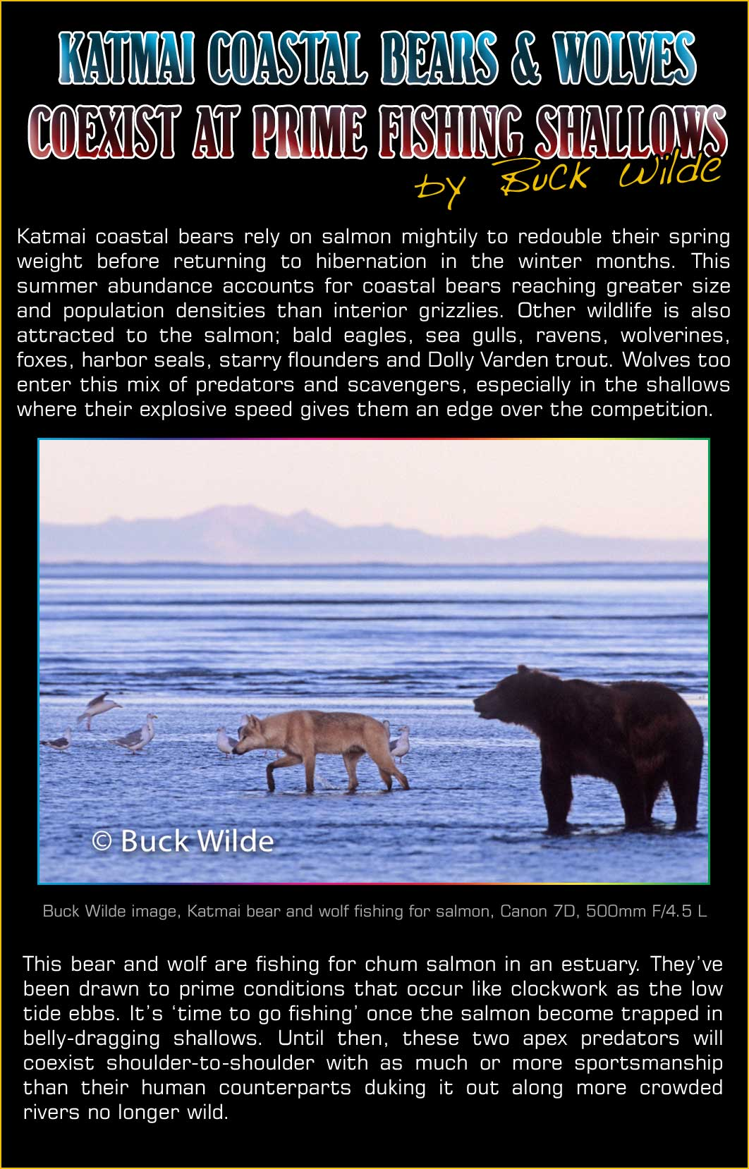Katmai Coastal Bears and Wolves Coexist at Prime Fishing Shallows